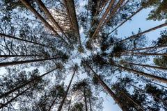 Partes superiores altas do pinheiro imagens de stock royalty free