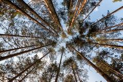Partes superiores altas do pinheiro imagens de stock