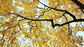 Partes superiores amarelas de árvores de bordo no outono E nave filme