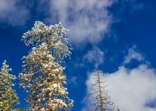Partes superiores cobertos de neve da árvore com fundo do céu azul Fotos de Stock