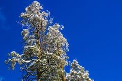 Partes superiores cobertos de neve da árvore com fundo do céu azul Foto de Stock Royalty Free