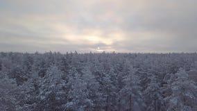 Partes superiores cobertos de neve da árvore na floresta filme