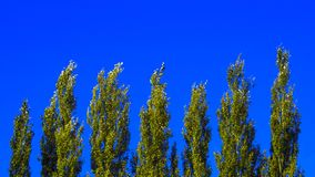 Partes superiores da árvore de álamo de Lombardy contra o céu azul em Windy Day Fundo natural abstrato foto de stock royalty free