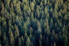 Partes superiores da árvore de floresta Fotografia de Stock Royalty Free