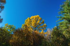 Partes superiores da árvore do fim outonal da floresta acima das árvores Fotografia de Stock Royalty Free