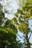 Partes superiores da árvore do verão Fotos de Stock Royalty Free