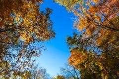Partes superiores da árvore e céu azul Foto de Stock Royalty Free