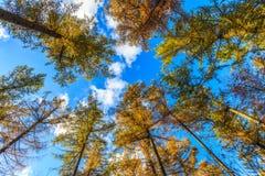 Partes superiores da árvore em uma floresta no outono Imagem de Stock