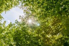 Partes superiores da árvore na floresta Fotografia de Stock