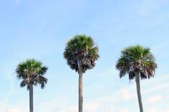 Partes superiores da palmeira contra o céu Imagem de Stock Royalty Free