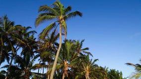 Partes superiores da palmeira e céu azul video estoque