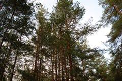 Partes superiores das árvores na floresta do pinho no outono Imagem de Stock