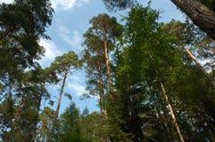 Partes superiores de árvores coloridas do verão no fundo do céu azul Imagens de Stock