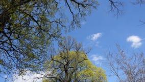 Partes superiores de árvores velhas contra o céu azul na primavera O despertar da natureza Baixo ângulo fotos de stock royalty free
