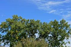 Partes superiores de carvalhos verdes contra o céu Imagem de Stock
