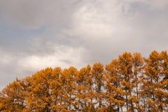 Partes superiores do close-up de larício amarelos e do céu nebuloso cinzento do outono Imagens de Stock