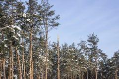 Partes superiores dos pinheiros altos cobertos com a neve sob um céu azul Imagens de Stock