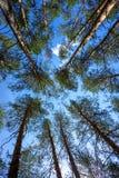 Partes superiores dos pinheiros na floresta Foto de Stock Royalty Free
