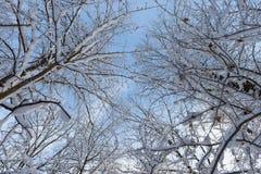 Partes superiores nevado das árvores Imagens de Stock Royalty Free