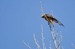 Partes superiores Vermelho-atadas de Hawk Calling From The Tree Imagens de Stock