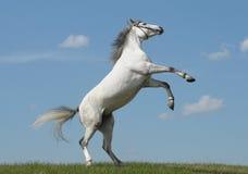Partes traseiras cinzentas do cavalo Fotografia de Stock