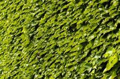 Parthencoissus 01 Stock Photography