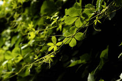 Parthencoissus 6. Rain, the parthencoissu leaves are green and clean, beautiful environment is ideal Stock Photo