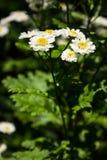 Parthenium del Tanacetum de Feverfew en flor Masa de las flores del blanco y de los amarillos de la hierba medicinal tradicional  foto de archivo libre de regalías
