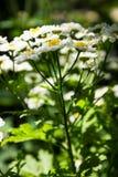 Parthenium van Feverfewtanacetum in bloem Massa van wit en geelbloemen van traditioneel geneeskrachtig kruid in de madeliefjefami Royalty-vrije Stock Foto's