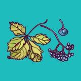 Parthenocissus Одичалые виноградины Пук ягод и листьев элементы естественные иллюстрация вектора