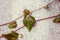 Parthenocissus, плющ boston Стоковая Фотография RF