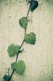Parthenocissus, плющ boston Стоковые Изображения
