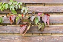 Parthenocissus Photo stock