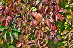 Parthenocissus Photo stock