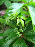 Parthenocissus. Leaves and buds Stock Image