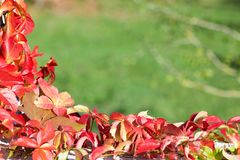 Parthenocissus in autumn on green background. Space for text Stock Image