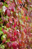Parthenocissus. Autumn parthenocissus leaves with raindrops Royalty Free Stock Images