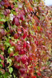 Parthenocissus. Autumn parthenocissus leaves with raindrops Royalty Free Stock Photos