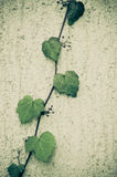 Parthenocissus, boston ivy Stock Images