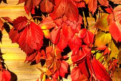 Parthenocissus Centrale de jardin images stock
