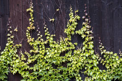 Parthenocissus climbs up the wooden barn. In the village Stock Images