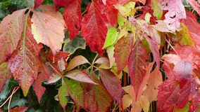 Parthenocissus commonly known as the Boston Ivy Royalty Free Stock Image