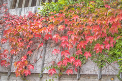 Parthenocissus creeper plant Stock Image