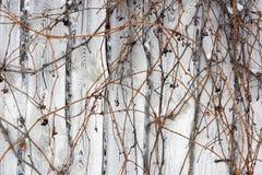 Parthenocissus Stock Images