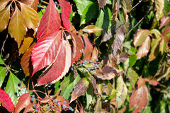 Parthenocissus foliage. Close up. background Stock Photo