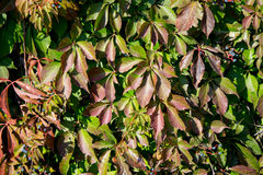 Parthenocissus foliage. Close up. background Royalty Free Stock Photos