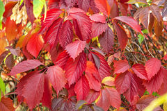 Parthenocissus. Royalty Free Stock Photography
