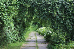 Parthenocissus green archs Stock Photography