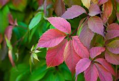 Parthenocissus grows in the garden and changes the color of the leaves. In the fall Royalty Free Stock Photos