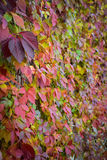 Parthenocissus, Hedera, ivy. In autumn colours on the fence Royalty Free Stock Photography